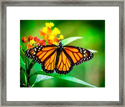 Monarch Butterfly Framed Print by Mark Andrew Thomas