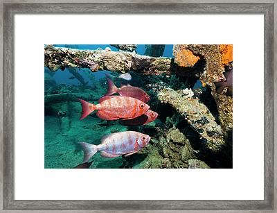 Moontail Bullseye Fish Framed Print by Georgette Douwma