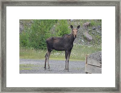 Moose Framed Print by James Petersen