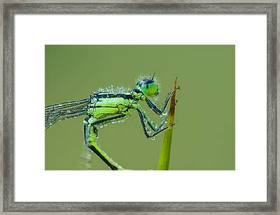 Morning Damselfly Framed Print by Mircea Costina Photography