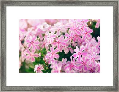 Moss Phlox (phlox Subulata) Framed Print by Maria Mosolova/science Photo Library