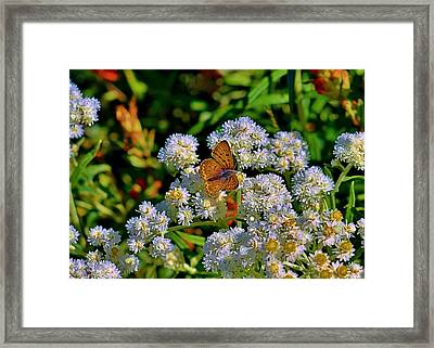 Moth On Pearly Everlasting Framed Print