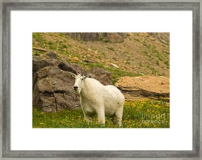 Mountain Goat In Glacier National Park Framed Print by Natural Focal Point Photography