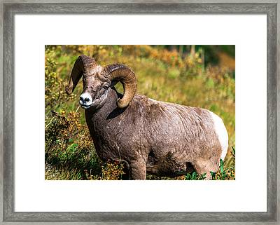 Mountain Goats  Framed Print by Rohit Nair