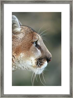 Mountain Lion (felis Concolor Framed Print