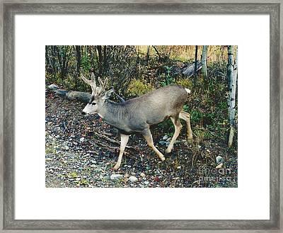 Mule Deer Framed Print