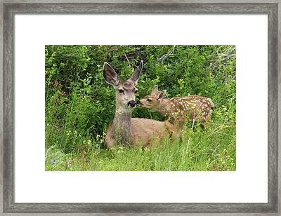 Mule Deer Doe With Fawn Framed Print
