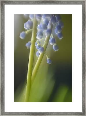 Muscari Framed Print by Silke Magino