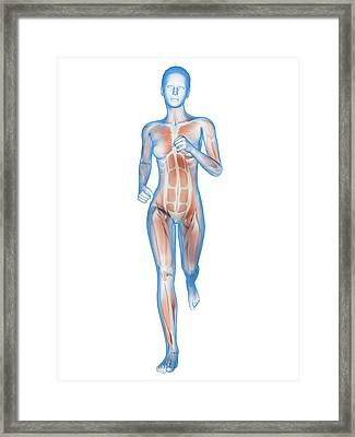 Muscular System Of A Runner Framed Print