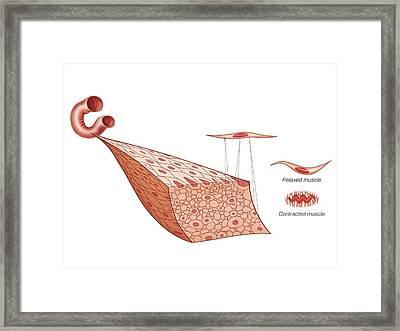 Muscular Tissue Framed Print