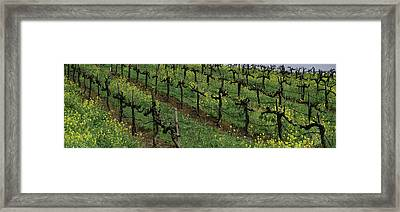Mustard And Vine Crop In The Vineyard Framed Print
