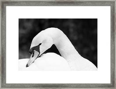 Mute Swan Black White Framed Print