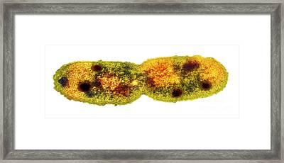 Mycobacterium Dividing, Tem Framed Print