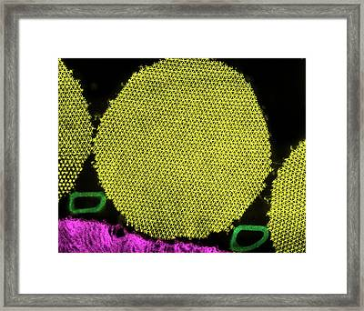 Myofibril Muscle Tissue Framed Print by Ammrf, University Of Sydney