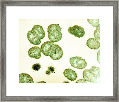 Neisseria Gonorrhoeae Bacteria Framed Print