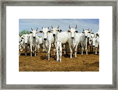 Nelore Cattle Framed Print by Tony Camacho/science Photo Library