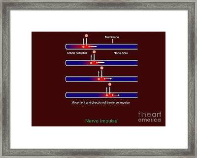 Nerve Impulse Propagation, Diagram Framed Print