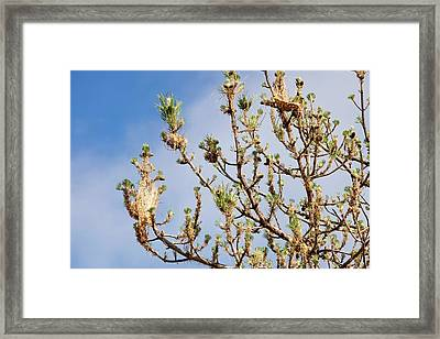 Nests Of Pine Processionary Caterpillar Framed Print by Ashley Cooper