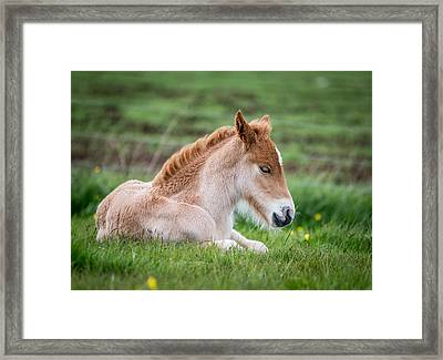 New Born Foal, Iceland Purebred Framed Print by Panoramic Images