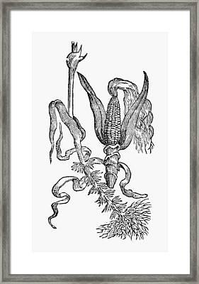 New Spain Corn, 1651 Framed Print by Granger