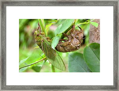 Newly Emerged Green Grocer Cicada Framed Print by Dr Jeremy Burgess