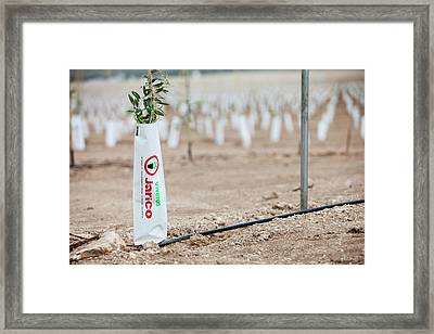 Newly Planted Olive Tree Grove Framed Print by Ashley Cooper