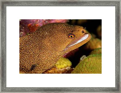 Night Dive Photograph Of Goldentail Eel Framed Print by James White