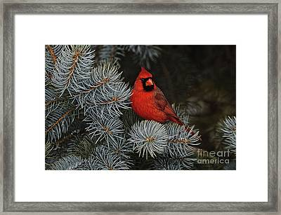 Northern Cardinal In Spruce Tree. Framed Print
