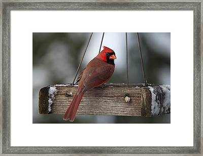 Northern Cardinal Framed Print by John Kunze