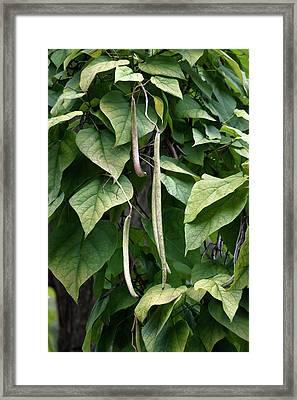 Northern Catalpa (catalpa Speciosa) Framed Print by Dr. Nick Kurzenko