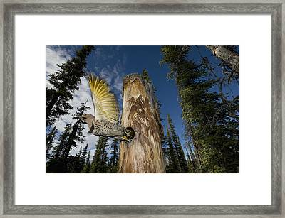 Northern Flicker Leaving Nest Cavity Framed Print by Michael Quinton