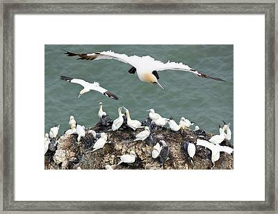 Northern Gannet Colony Framed Print by Steve Allen/science Photo Library