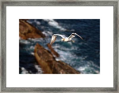 Northern Gannet Framed Print