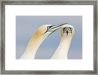 Northern Gannets Greeting Saltee Island Framed Print by Bart Breet
