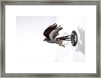 Northern Goshawk Flying Through A Tube Framed Print by Paul Williams