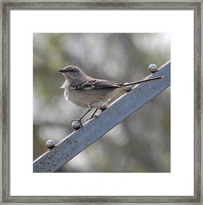 Framed Print featuring the photograph Northern Mockingbird 2 by Leticia Latocki