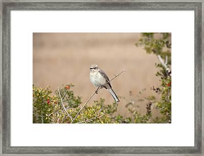 Northern Mockingbird Framed Print by Rich Leighton