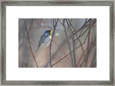 Northern Parula Framed Print