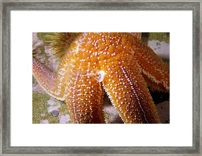 Northern Sea Star Releasing Sperm Framed Print by Andrew J. Martinez