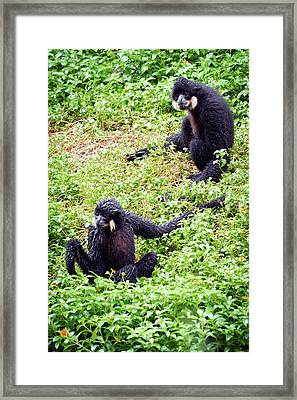 Northern White-cheeked Gibbons Framed Print by Pan Xunbin