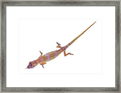 Nose-horned Chameleon Framed Print by Alex Hyde