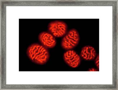 Nostoc Pruniforme Cyanobacteria Framed Print by Gerd Guenther
