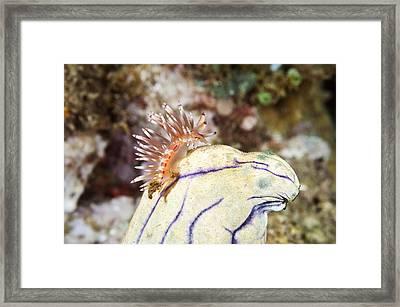 Nudibranch,  Indonesia Framed Print by Andrew J. Martinez