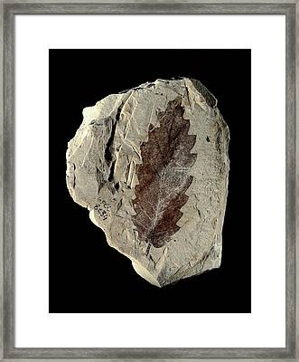 Oak Leaf Fossil Framed Print by Gilles Mermet