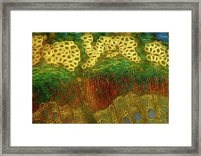 Oak Stem Framed Print by Marek Mis