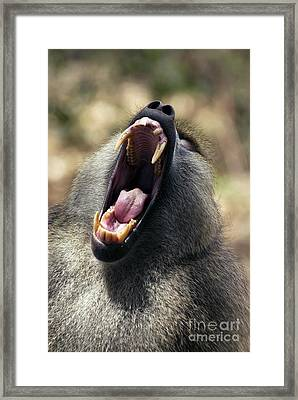 Olive Baboon Alpha Male Framed Print by Peter Chadwick