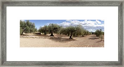 Olive Grove, Vinaros, Province Framed Print by Panoramic Images