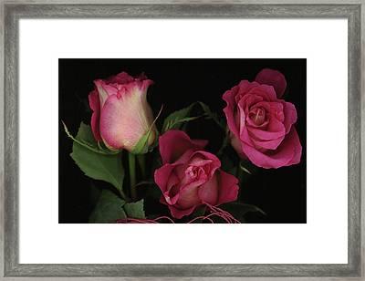 Ombre Tea Rose On Black Background Framed Print by Anna Miller