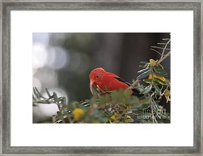 One 'i'iwi Bird Extracting Nectar Framed Print by Sami Sarkis