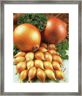 Onions Framed Print by Ray Lacey/science Photo Library